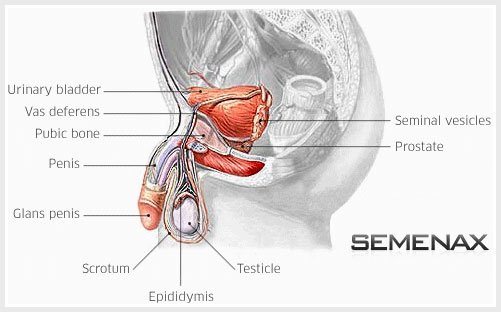 Semenax Pills Work